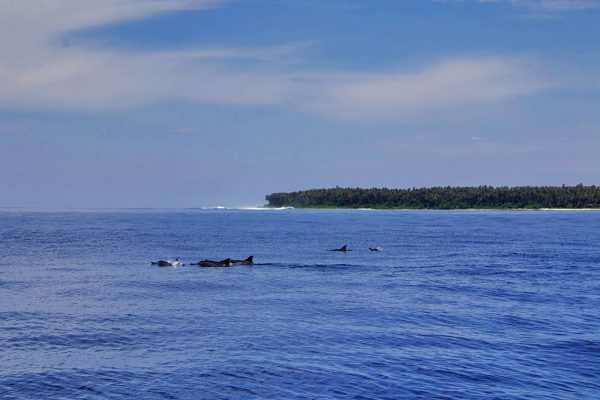 Spot Dolphins during Boat Trip - Activity Simeulue Island