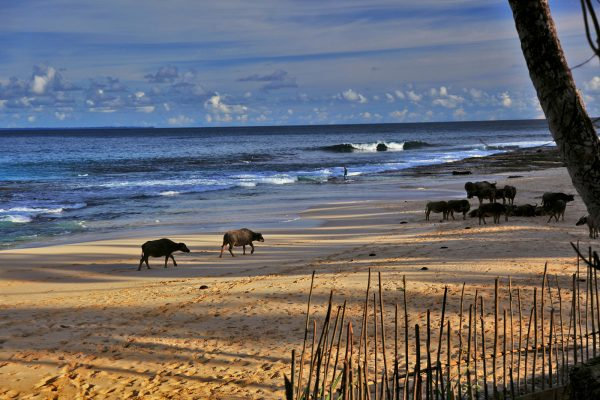 Wild Animals on Beach Simeulue Island - Nice things to do on Simeulue Island