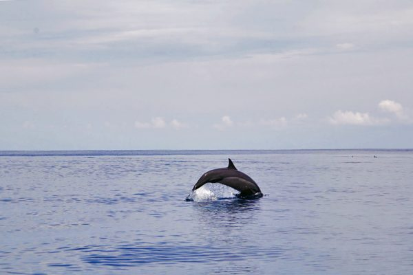 Swimming Dolphin Simeulue Surf Spot